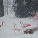 Flamingos at muster