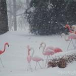 Flamingos at muster