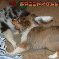 Sable dog chomps blue dog