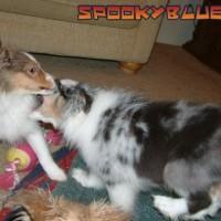 Blue dog chomps sable dog