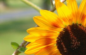 Snug Harbor Sunflower